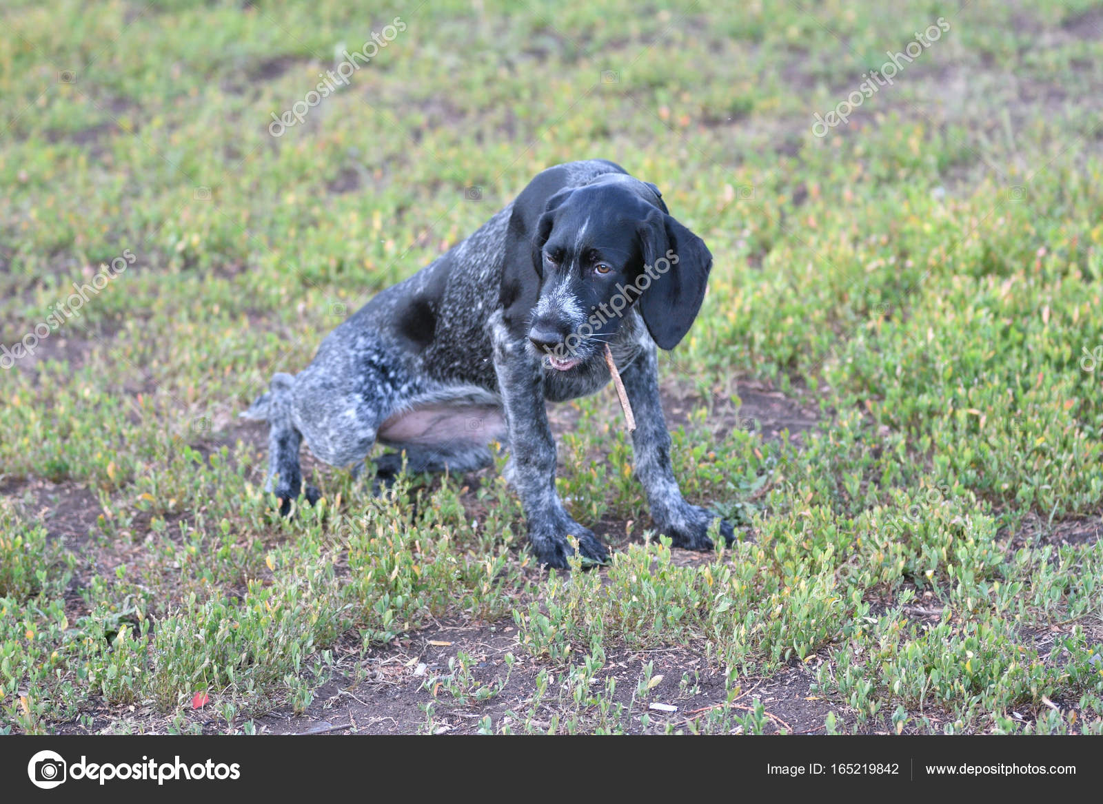 Hunting dog breed German Wirehaired pointer — Stock Photo © galkin57 ...