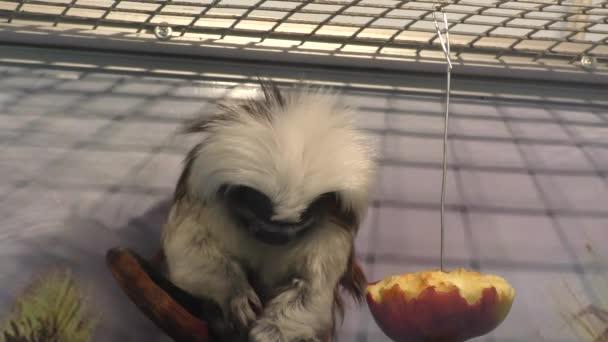 Ödipus Tamarin Ansicht igrunkovyh Affen Art von Tamarinen