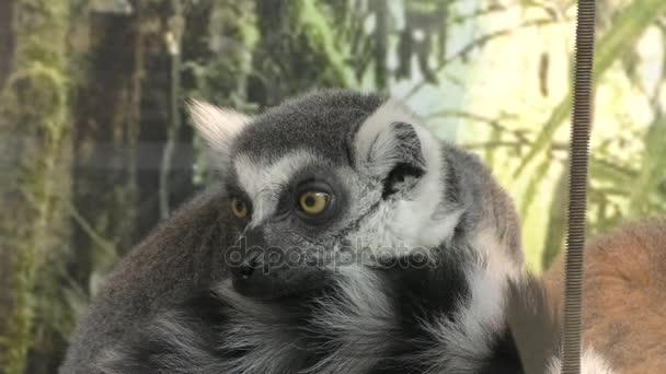 Gyűrűsfarkú maki vagy maki, vagy Katta (Lat. Lemur catta), él a szigetek, Madagaszkár