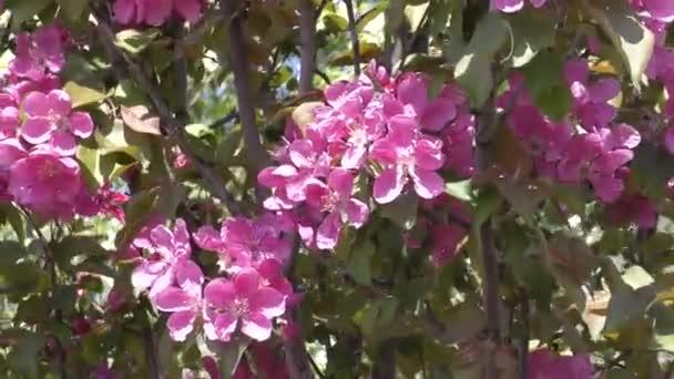 Růžové květy jabloní-
