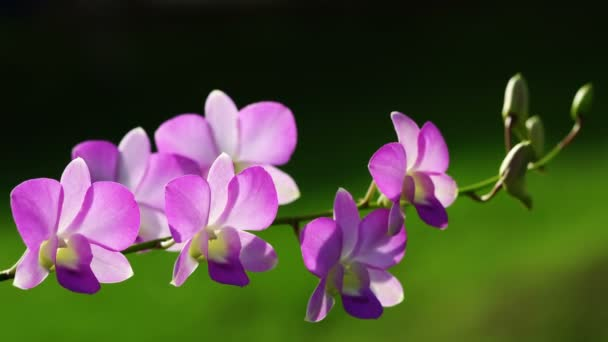 Closeup of purple dendrobium orchid flowers