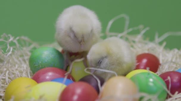 Álmos kis csirkék színes húsvéti tojásokon. Zöld háttér. Bolyhos tyúkok