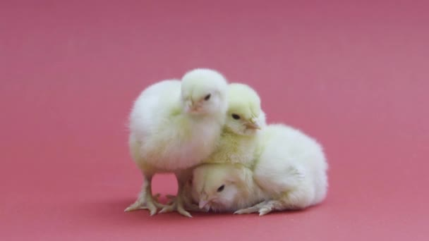 Three funny little chickens. Fluffy easter chicks. Farming. Pink background
