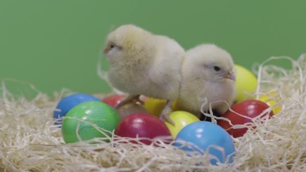 Kis csirkék kotkodácsolnak színes húsvéti tojásokon. Zöld háttér. Bolyhos tyúk