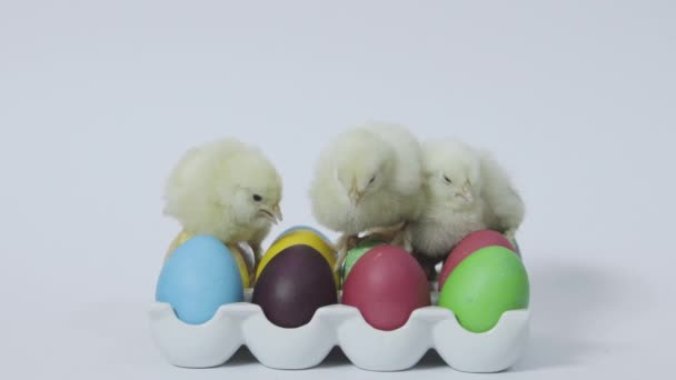 Little yellow chicks nesting together on easter eggs in tray. White background