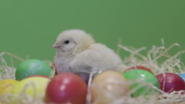 Jedno malé kuře a barevná velikonoční vajíčka. Zelené pozadí. Chlupatá kočka