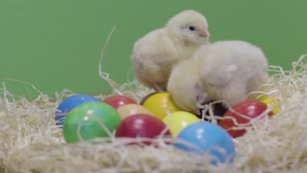 Little chickens playing on colorful easter eggs. Green background. Fluffy chick
