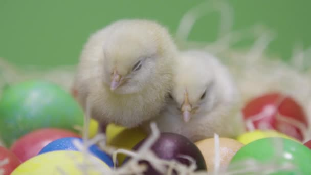 Two sleepy fluffy chicks on nest with easter eggs. Green background. Close up
