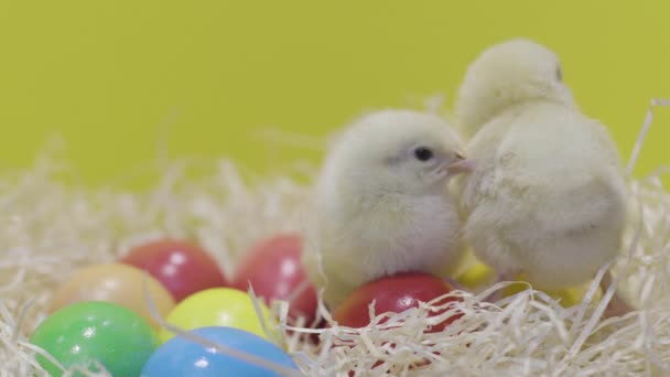 Little chickens playing on colorful easter eggs. Yellow background. Fluffy chick