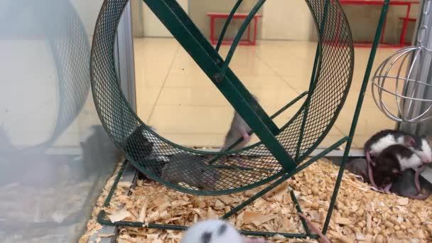 viele junge Ratten unterschiedlicher Farbe sitzen in einem Käfig in einer Zoohandlung
