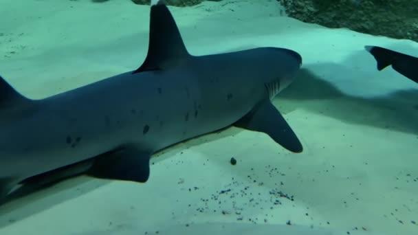 Weißspitzenriffhaie triaenodon obesus ruht auf sandigem Grund