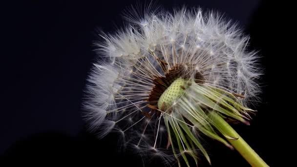 Pampeliška květina se semeny míč na černém pozadí zblízka