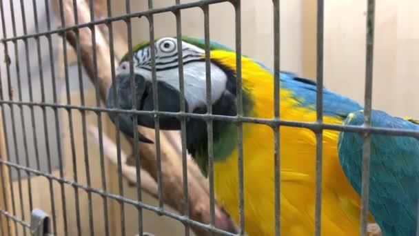 Velký barevný modrý a žlutý papoušek macaw, Ara arauna jíst semena v kleci zblízka