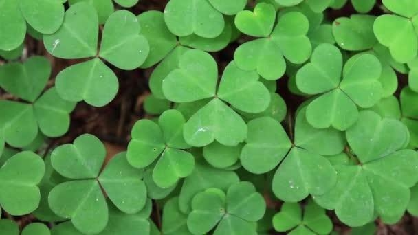 Horní pohled na zelené shamrocks, dřevo sorrel Oxalis acetosella v lese detailní pozadí