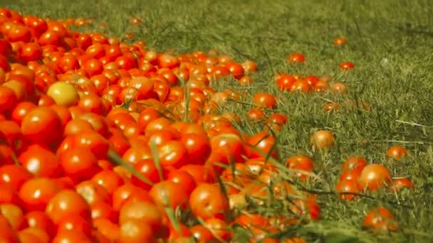 Rote Tomaten liegen auf dem Boden im grünen Gras