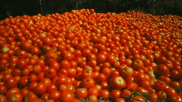 čerstvé rajče sklizeň. mnoho červená rajčata
