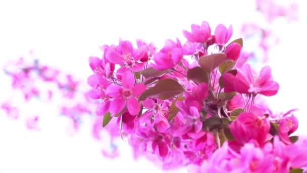 Růžový strom v denní světlo, větve z jara Kvetoucí strom, ovocný strom, pomalý pohyb