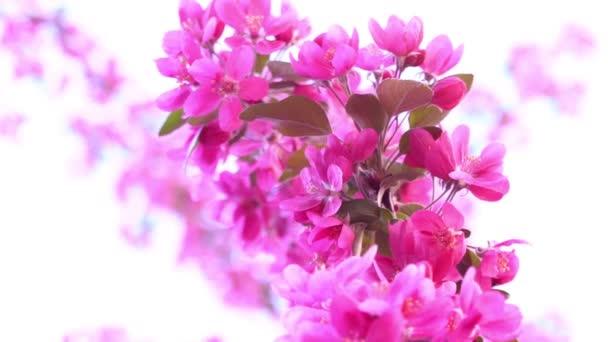 Rózsaszín fa ága tavasszal virágzó fa, gyümölcsfa, lassú mozgás, nyári