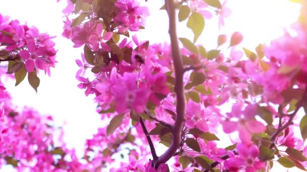 The bee collects nectar on a flowering pink branch, close-up, slow motion