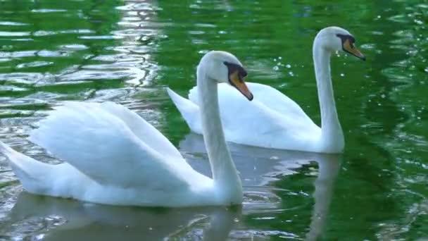 Egy pár fehér hattyúk úszni a vízben, a hattyúk, a tó, lassú mozgás