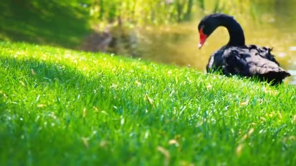 A black swan with a red beak sits alone on the green grass by the pond in the city park, 4K