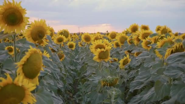 Sunflower field at sunset. Blooming sunflowers. Organic product. A bountiful harvest. Agricultural business.