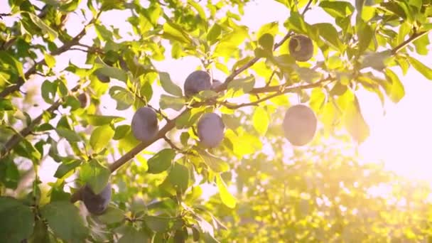 Ripe plums on a branch in the rays of sunlight. Fresh plums is hand picked from plum tree. Woman is picking fruits from the trees on the plantation. Sunny day. Summer season. Harvesting plums.