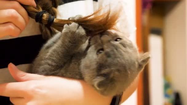 Schottisches Faltkätzchen spielt mit den Haaren ihres Besitzers