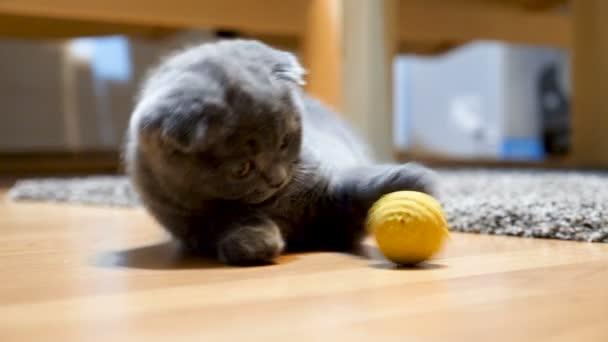 niedliches und entzückendes schottisches Faltenkätzchen spielt mit einem gelben Ball