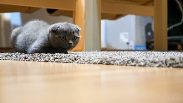 Adorable gray scottish fold kitten sitting on the floor