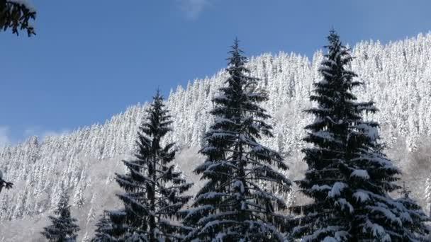 Krásná zimní krajina s borovicemi