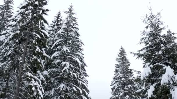 Kiefer Baum Höhepunkt im Wald im winter
