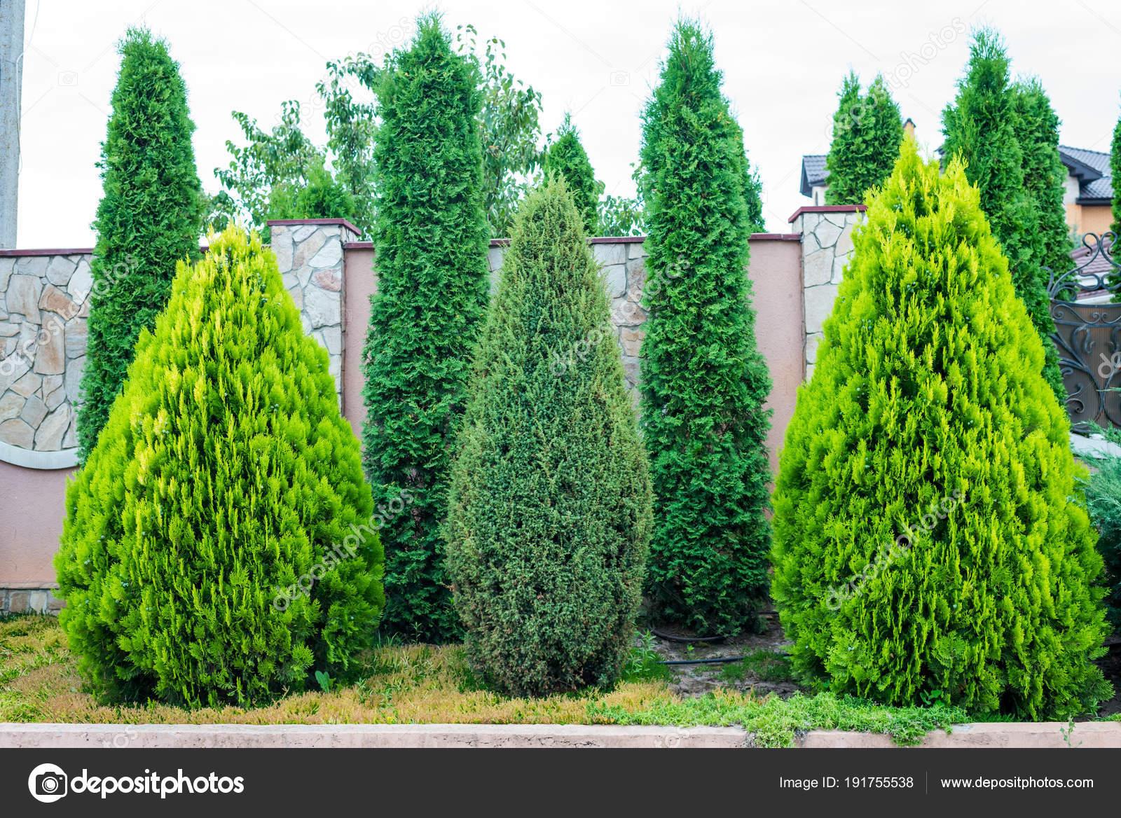 arbres feuillage persistant d coratifs pour l. Black Bedroom Furniture Sets. Home Design Ideas