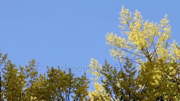 Kvetoucí žlutý akát 2