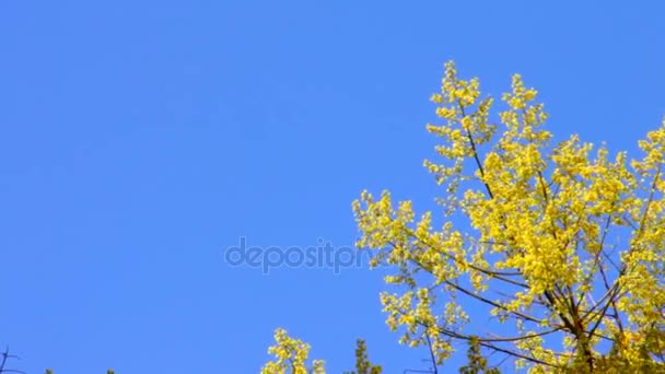 Kvetoucí žlutý akát 5