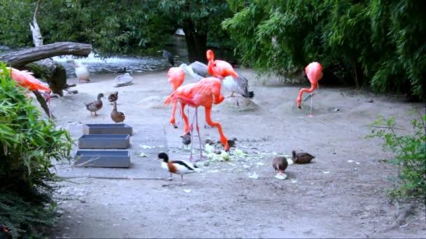 Skupina amerických Flamingo, pelikánů a kachen v Zoo