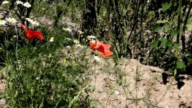 Red Poppy and Daisies on the Flowerbed