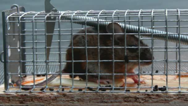 Haus kleine Maus in einer Mausefalle im freien