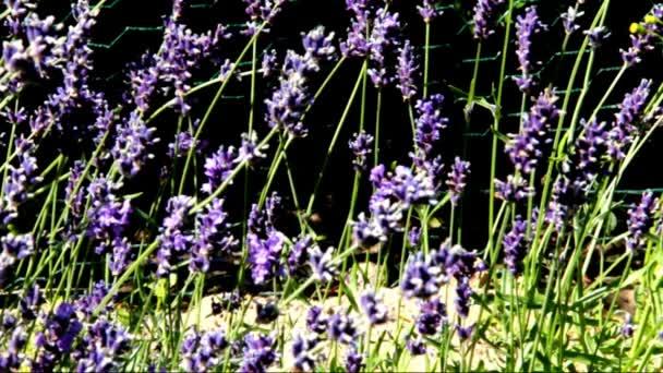 Lavender a Flower Bed