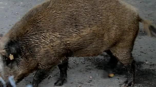 Kövér vaddisznó és a koca