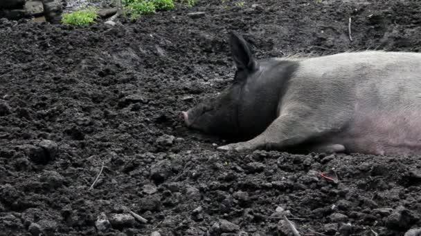 Wild Big Pig Rest,