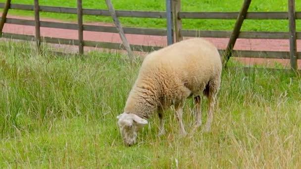 Sheep Grazing in Meadow