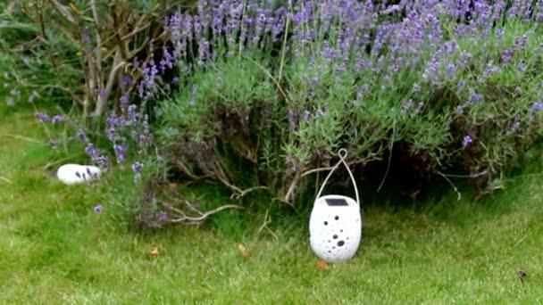 Levandulový Bush na zelené trávě trávníku pozadí na dvoře domu evropské soukromé