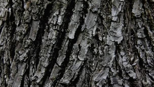 Old Linden Tree Bark Texture in Nature