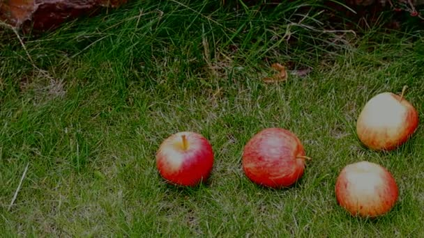 Red Apples on the Grass Under Apple Tree.