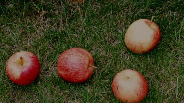 Červená jablka na trávě pod jabloní.