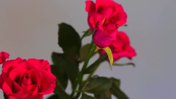 Bouquet of light red roses on beige wall background
