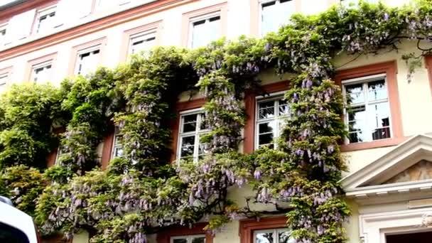 Wisteria na zeď zdi kamenný dům. Baden-Baden. Německo