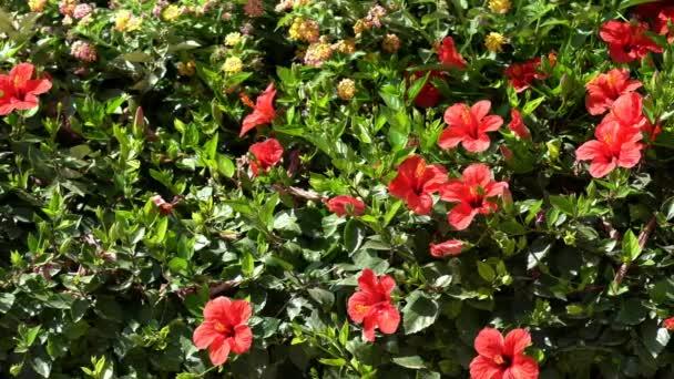 Dekorativní plot květy kvete červenými ibišky