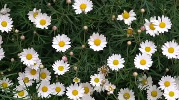 Bílý sedmikrásky kvetou v letní sezóně.